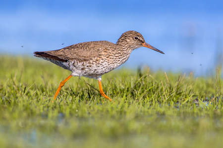 Common redshank (Tringa totanus) walking through grass of a wetland used as layovers during migration.