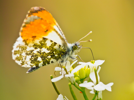 insecta: Orange Tip Butterfly (Anthocharis cardamines) Feeding Nectar on White Bloosom Stock Photo