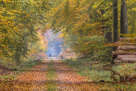 assen: Autumn lane with old large Beech trees (Fagus sylvatica) in orange yellow and brown colors