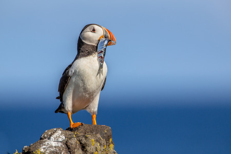Puffin (Fratercula arctica) with fish trying to find its nest in breeding colony on Isle of May, Scotland