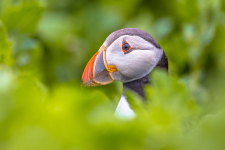 Puffin peeking through green vegetation near nesting burrow in breeding colony