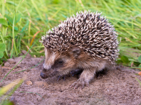 West European Hedgehog (Erinaceus, europaeus) Looking for Food