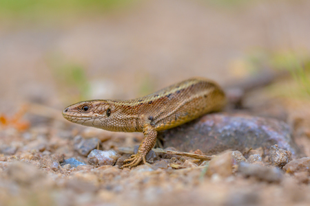 viviparous: Viviparous lizard (Zootoca vivipara) head and body.  Eurasian lizard. It lives farther north than any other reptile species, and most populations are viviparous (giving birth to live young).