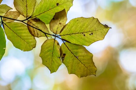 Autumn leaves of European Beech (Fagus sylvatica) in bright colors on a branch in a forest highlighted by bright sunlight in background