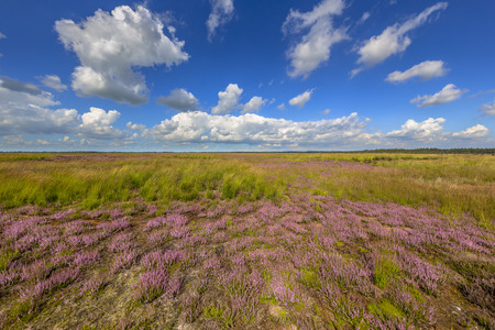 natura: Regenerating heath plants in Natura 2000 nature reserve Fochtelooerveen, Friesland, Netherlands