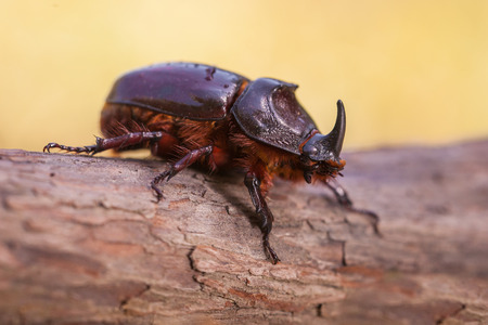 Rhinoceros Beetle (Oryctes nasicornis) With Beautiful Background