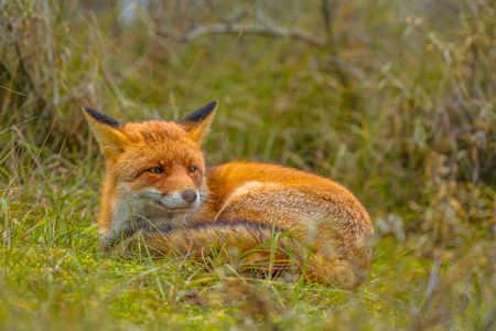 occupying: Resting European red fox (Vulpes vulpes) in grass. Red Foxes are adaptable and opportunistic omnivores and are capable of successfully occupying urban areas.