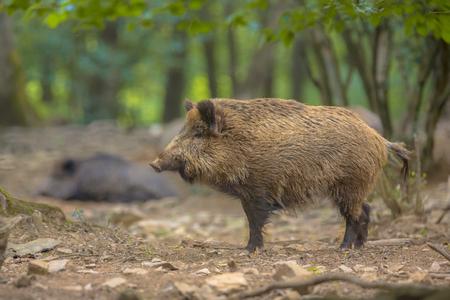 posbank: Wild Boar (Sus scrofa) side view in a natural forest habitat