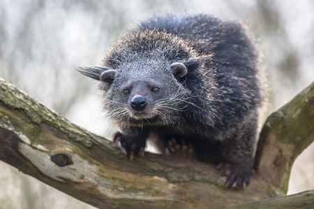 civet cat: Binturong or bearcat (Arctictis binturong). Binturong is widespread in south and southeast Asia occurring in Bangladesh, Bhutan, Myanmar, China india and indonesia
