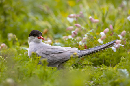 Arctic tern (Sterna paradisaea) breeding between flowers and green vegetation