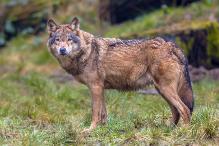 natural looking: European Wolf (Canis lupus) sideview in natural forest habitat looking in the camera Stock Photo