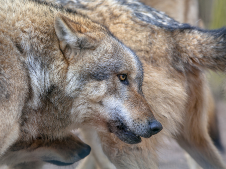 specialised: Herde of Eurasian Gray Wolf (Canis lupus lupus). It is the most specialised member of the genus Canis, as demonstrated by its morphological adaptations to hunting large prey, its more gregarious nature, and its highly advanced expressive behavior. Stock Photo