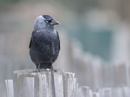 monedula: Western Jackdaw (Corvus monedula) on a chestnut fence looking bold in the camera. Generally wary of people in the forest or countryside, jacks are much tamer in urban areas.