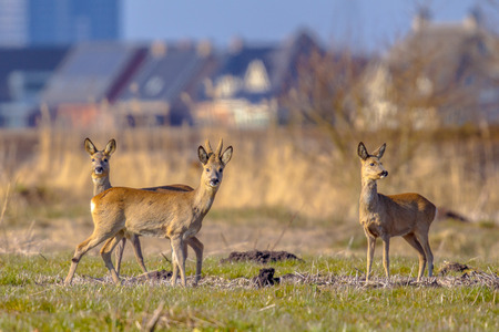 urbanized: Roe Deer (Capreolus capreolus) in Urban city environment with builings in the background in the Netherlands