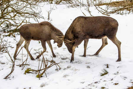 romp: The moose (North America) or elk (Eurasia), Alces alces, is the largest extant species in the deer family. Mother and young are playing