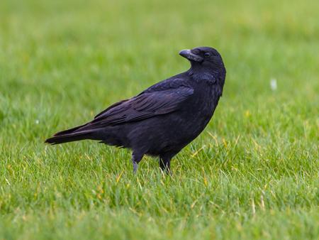 dodgy: Black Crow (Corvus corone) on green field looking backward