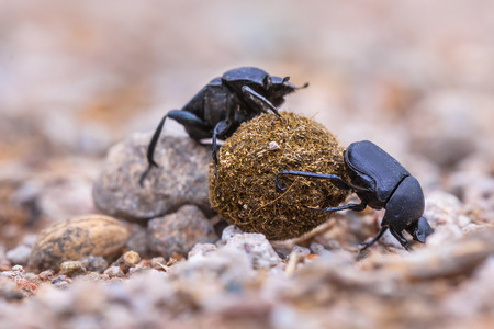 overcoming adversity: Two dung beetles putting a lot of effort in rolling a ball through gravel Stock Photo