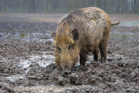 Feeding Wild Boar (Sus scrofa) in a mud pool with stagnant water Stock Photo