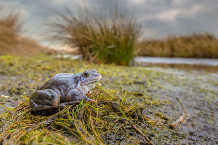 Blue Moor frog (Rana arvalis) in breeding habitat. Males can develop bright blue coloration for a few days during the breeding season in march or april. Stock Photo