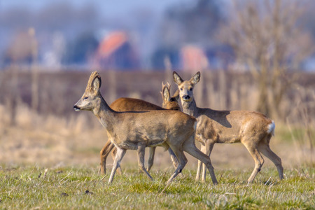urbanized: Group of Roe Deer (Capreolus capreolus) in Urban environment with builings in the background in the Netherlands