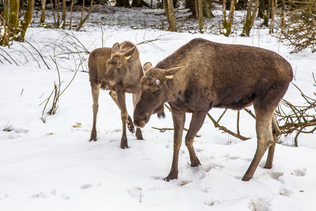The moose (North America) or elk (Eurasia), Alces alces, is the largest extant species in the deer family. Mother and calf in winter setting