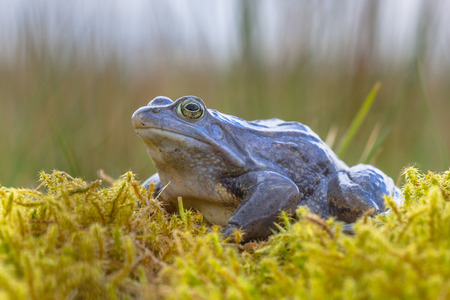Blue Moor frog (Rana arvalis). Males can develop bright blue coloration for a few days during the breeding season in march or april. Stock Photo