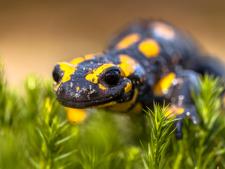 newt: Fire salamander newt (Salamandre salamandre) live in central European deciduous forests and are declining amphibians in numbers Stock Photo
