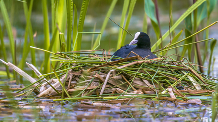 nesting: Breeding Common Coot (Fulica atra) on nest in pond of public park