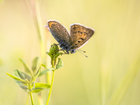 sooty: Brown butterfly Sooty Copper (Lycaena tityrus) warming in sun with opened wings on colorful bright background