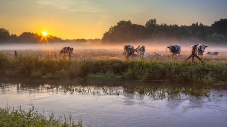 River the Dinkel with cows on bank in Twente on an early summer morning with haze over the countryside in the Netherlands