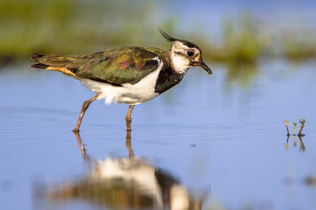 Walking Female Northern lapwing bird (Vanellus vanellus) wading through shallow water while feeding on insects