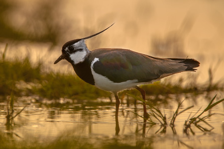 Side view back lit Male Northern lapwing (Vanellus vanellus) at sunrise in orange glow morning sun