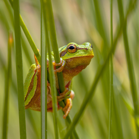 Tree frog (Hyla arborea) looking from behind common rush (juncus effusus) into the camera on square image Stock Photo