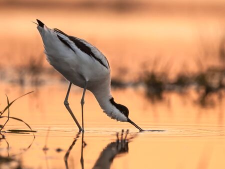 foraging pied avocet (Recurvirostra avosetta) wading in water in early orange light and looking for food during sunrise