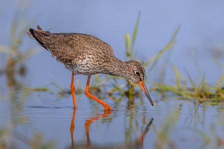 Common Redshank (Tringa totanus) wader bird, wading through shallow water and foraging for food like water insects. Stock Photo