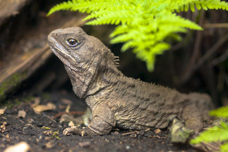 Tuatara, the living fossil, is a native and endemic reptile in new zealand. Animal in natural environment