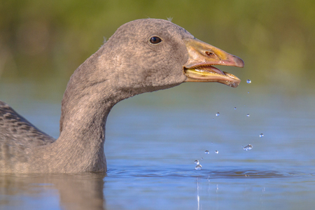 water bird: Swimming Greylag goose (Anser anser) bird drinking water. This species has a Palearctic distribution and breeds in Europe and North Asia.