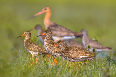wader: Group of Redshank (Tringa totanus) wader birds with larger Black-tailed Godwit (Limosa limosa) bird in background on resting grounds during migration Stock Photo