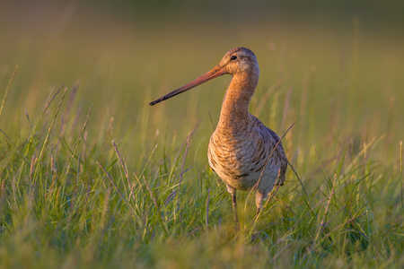 occurs: Black-tailed Godwit (Limosa limosa) wader bird standing in grass. This breeding habitat occurs in the Dutch coastal areas. About half of the world population breeds in the Netherlands. Stock Photo