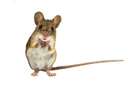 Cute Funny Wood mouse (Apodemus sylvaticus) with curious cute brown eyes looking in the camera on white background Stock Photo