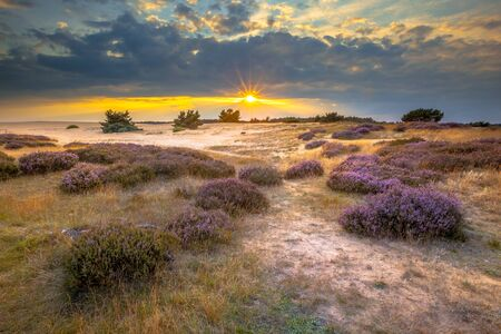 posbank: Heathland in sand dunes in national park de Hoge Veluwe around sunset under a clouded sky in August.