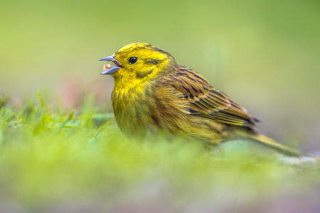 wintering: Yellowhammer (Emberiza citrinella) foraging in grassy backyard. this bird is partially migratory, with much of the population wintering further south.