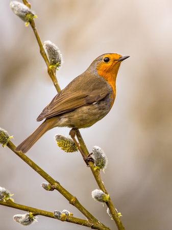 European Red Robin (Erithacus rubecula) perched on a branch of pussy willow (Salix spec.) with bright background Stock Photo