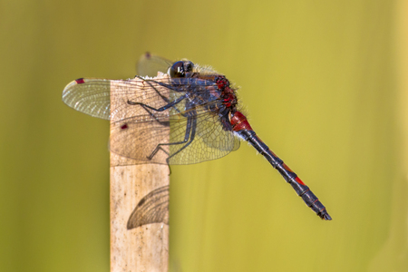 Ruby whiteface (Leucorrhinia rubicunda) dragonfly perched on reed. Stock Photo