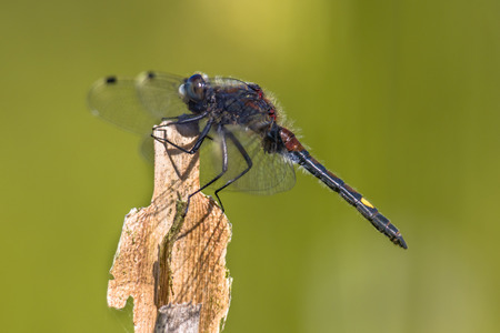 inhabits: Large white-faced darter or yellow-spotted whiteface (Leucorrhinia pectoralis) dragonfly perched on stick. This insect inhabits marshy borders and prefers less acidic waters than its close relative darters. It occurs from Europe to siberia.