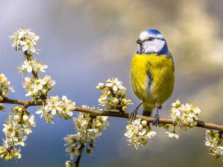 caeruleus: Blue tit (Parus caeruleus) perched on twig of Hawthorn (Crataegus monogyna) with white blossom