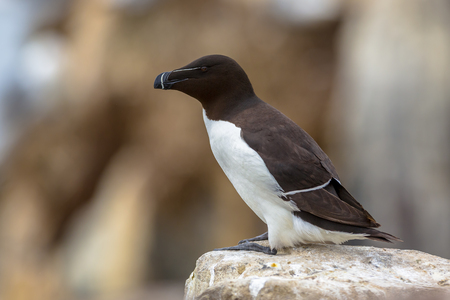 Razorbill (Alca torda) perched on rock in breeding colony on Farne Islands, United Kingdom Stock Photo