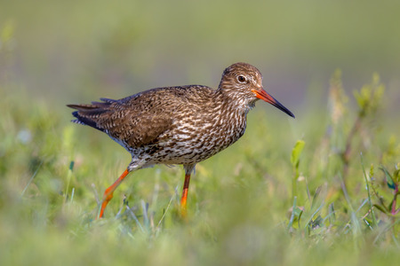 wader: Common redshank (Tringa totanus) is a Eurasian wader which breeds in grassland of marshes and wetlands. Stock Photo
