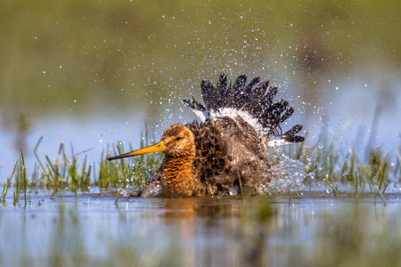 water bird: Black-tailed Godwit (Limosa limosa) wader bird washing in water and splashing. Breeding habitat is present in the Dutch coastal areas. About half of the world population breeds in the Netherlands. Stock Photo
