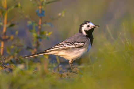 motacilla: white wagtail (Motacilla alba) foraging in grassland of wetland nature reserve in the Netherlands